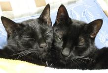 ブログ用寄り添って寝る黒猫兄弟.jpg